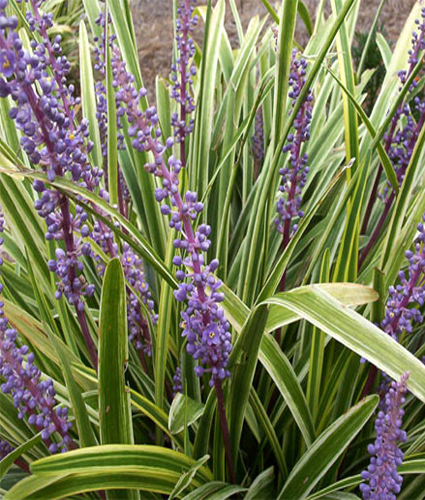 Liriope Muscari Variegata North Coast Perennials
